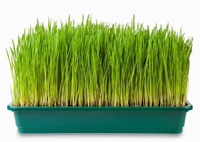 zielony jeczmien zelazo
